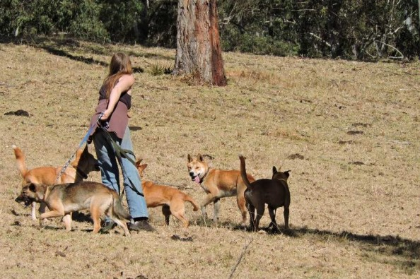Dingoes - help please :'(?