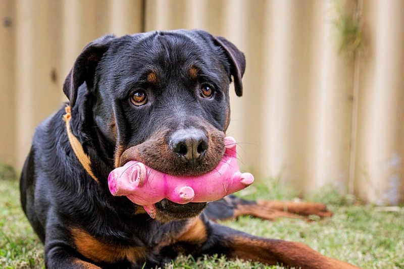 Fundraiser By Rottweiler Rescue Rottweiler Rescue Of Wa Fundraiser