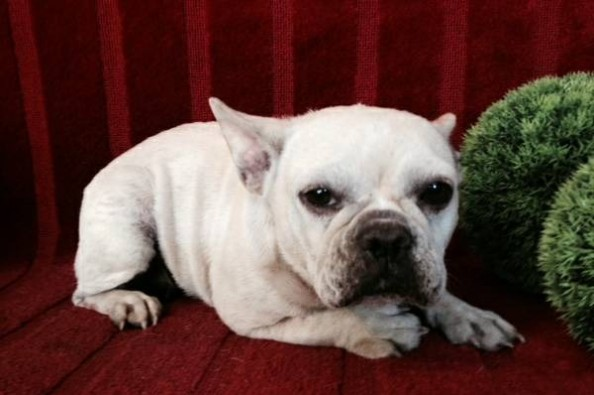 Fundraiser by Tom Riley : French Bulldog Rescue Take 2