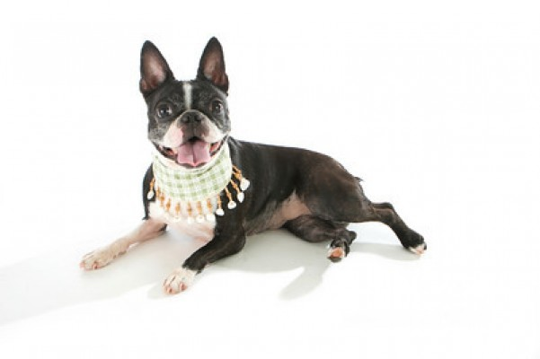 Fundraiser By Tyler Harvey Boston Terrier Rescue Of Florida