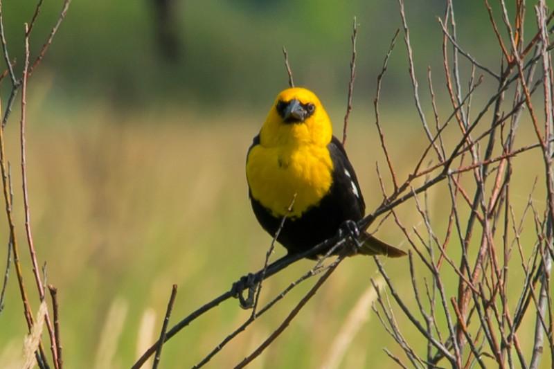 fundraiser by debra karczynski nord be a yellow head bird