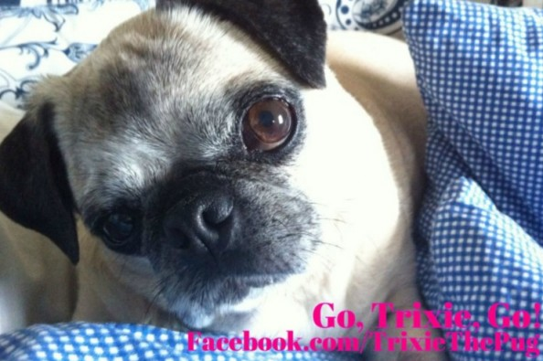 Fundraiser by trixie thepug trixie the pug recovering from stroke altavistaventures Images